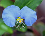 Title: Commelina erecta